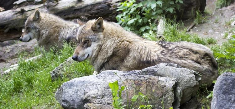 Journée Faune et Flore de Montagne, sur les traces des loups